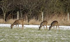 roe deer (sidedrummer) Tags: roedeer