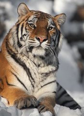 (fPat) Tags: orange animal animals canon zoo fight brothers stripes teeth tiger bat attack whiskers exotic bigcat 5d philly swat phila philadelphiazoo amurtiger exoticanimal mark2 firstzoo 5dmarkii playful5d5dmark2canonfpatphotocom