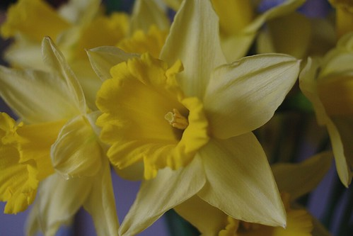 Daffodil for St David's day.