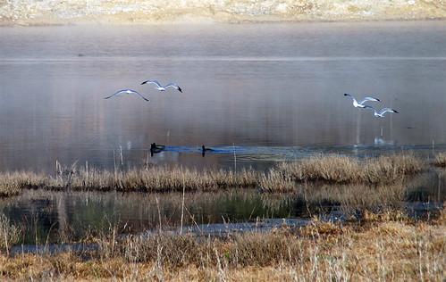 Seagulls-Ducks