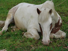do not disturb, please (amipreside) Tags: horse nature cavallo galope thesuperbmasterpiece natureselegantshots theoriginalgoldseal flickrsportal