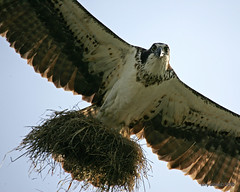 Osprey with nest material (Pandion haliaetus) (tonyadcockphotos) Tags: bird nature birds river nest birding raptor birdwatching osprey avian pandionhaliaetus nesting birdwatcher potofgold riverwalktrail canonef100400mmf4556lisusm nestingmaterial danriver danvilleva natureoutpost naturethroughthelens