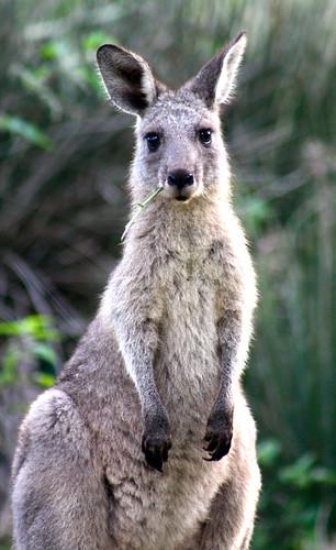 Pebbly Beach Kangaroos Australia - 123