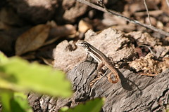 "Apr08_ DR Trip_ Gecko in sun • <a style=""font-size:0.8em;"" href=""http://www.flickr.com/photos/30765416@N06/4521012104/"" target=""_blank"">View on Flickr</a>"