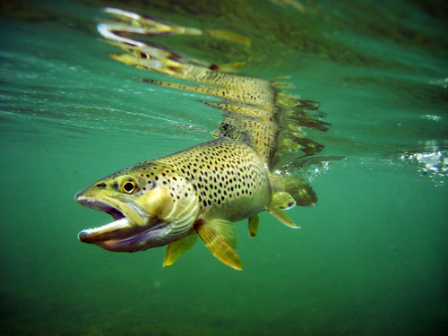 brown trout under water green river 2
