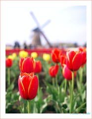 (Annie ( 00 )) Tags: flowers plants nature windmill yellow lumix wildlife tulip annie vegetation 20mm  naka   gf1 annienaka