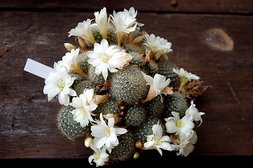 Rebutia 'Snow White'