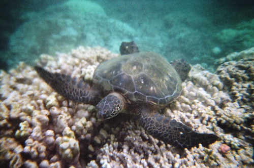 Sea Turtle at Honokeana Bay (1)