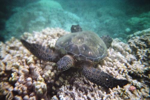 Sea Turtle at Honokeana Bay (1)