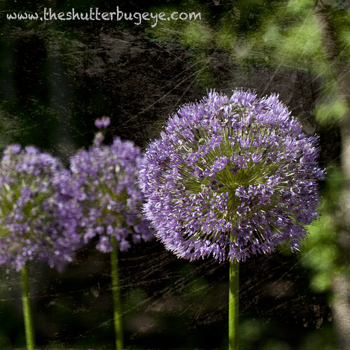 Purple globes by The Shutterbug Eye™