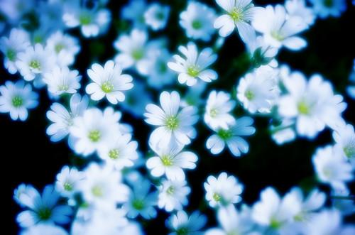 フリー写真素材, 花・植物, 白色の花, 花爪草・ハナツメクサ,