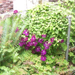 Purple flowers being overtaken by a morning glory infestation