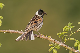Reed Bunting (Emberza schoeniclus)