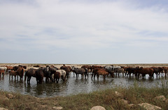 IMG_3989a (photoa99) Tags: كازاخستان kazakhstan қазақстан казахстан centralasia silkroad mangyshlak peninsula мангышлак horses lake