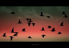 FLIGHT OF THE CURLEW (PAUL1852X) Tags: silhouette waders gwent curlew mywinners masterclasselite