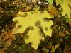 McCloud River Broad Leaf Maple