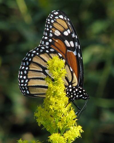 orange black yellow canon butterfly goldenrod monarch soe s5 naturesfinest supershot mywinners anawesomeshot goldstaraward vickisnature beautifulworldchallenges vosplusbellesphotos bwcgbutterflies bwcgm