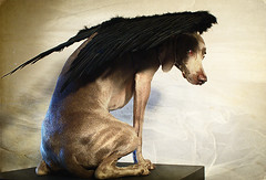 dark angel (saikiishiki) Tags: portrait dog black cute texture love halloween angel pose fur wings fuzzy sweet weimaraner peek 2009 omoshiroi weim mukha 4352 geathers thelittledoglaughed texturebyplayingwithbrushesthankyou 52weeksfordogs 52weeksofmukha