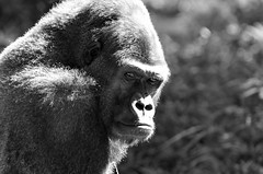Black, white and gorilla all over! (ucumari) Tags: october gorilla north carolina 2009 nczoo greatape ucumariphotography