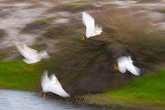 Angel birds... (Gitart) Tags: brown white black nature birds wings flight blurr egret greet snowyegret slowshutterspeed bolsachicareserve