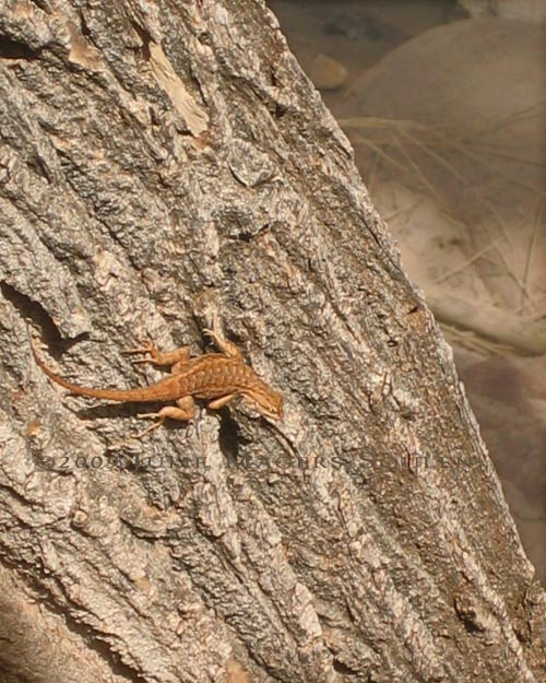 lizard in zion national park