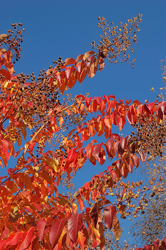Missouri Botanical Garden (Shaw's Garden), in Saint Louis, Missouri, USA - red tree leaves in Autumn