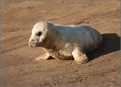 Grey Seal Pup (Jmalls) Tags: sunlight lincolnshire seal pup greyseal donnanook hooknosedseapig halichroerusgrypus neargrimsby catchlightintheeye