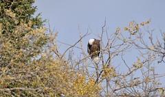DSC_9149 cropped (the tЯefts) Tags: canada nikon eagle bald manitoba gimli walleye pickerel d90 eaglefest heclaisland nikond90 d90club tamron18270mmf3563diiivc walleyecheeks krisfishandchips