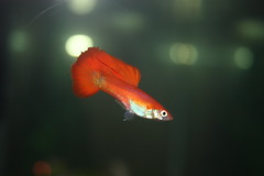 Red Guppy (Pumpkin45) Tags: red fish male colorful fancy guppy freshwater livebearer maleguppy