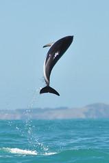 RtW2009 168 Dusky Dolphin - Kaikoura Dolphin Encounter (mothclark62) Tags: newzealand wildlife southisland kaikoura duskydolphin dolphinencounter