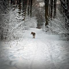 "Canis Lupus ? (thomas bach nielsen) Tags: winter dog white snow cold weather animal forest square landscape denmark nikon scenery frost january canine frosty scene squareformat 50mmf18d dänemark danmark aalborg januar 2010 500x500 bsquare d80 nikond80 brillianteyejewel brilliant~eye~jewel ""flickraward"" zensationalworld ""flickraward5"""