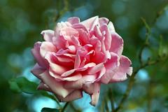 (`Jenn`) Tags: rose naturesfinest masterphotos