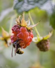 20090810_9999_120b (Fantasyfan.) Tags: autumn macro nature topv111 closeup tag3 taggedout bug garden berry tag2 tag1 wasp bokeh eating raspberry fantasyfanin siirretty