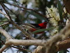 Red Headed Honeyeater (tkmckinn) Tags: birds australia july09