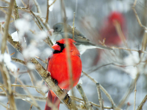 cardinals juncos snow