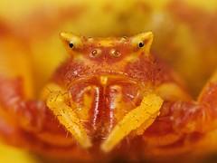 Crab Spider Mugshot (Casseris) Tags: hairy orange macro nature up yellow insect southafrica spider close natural arachnid crab zuidafrika animalkingdomelite buzznbugz macrolife notyournormalbug