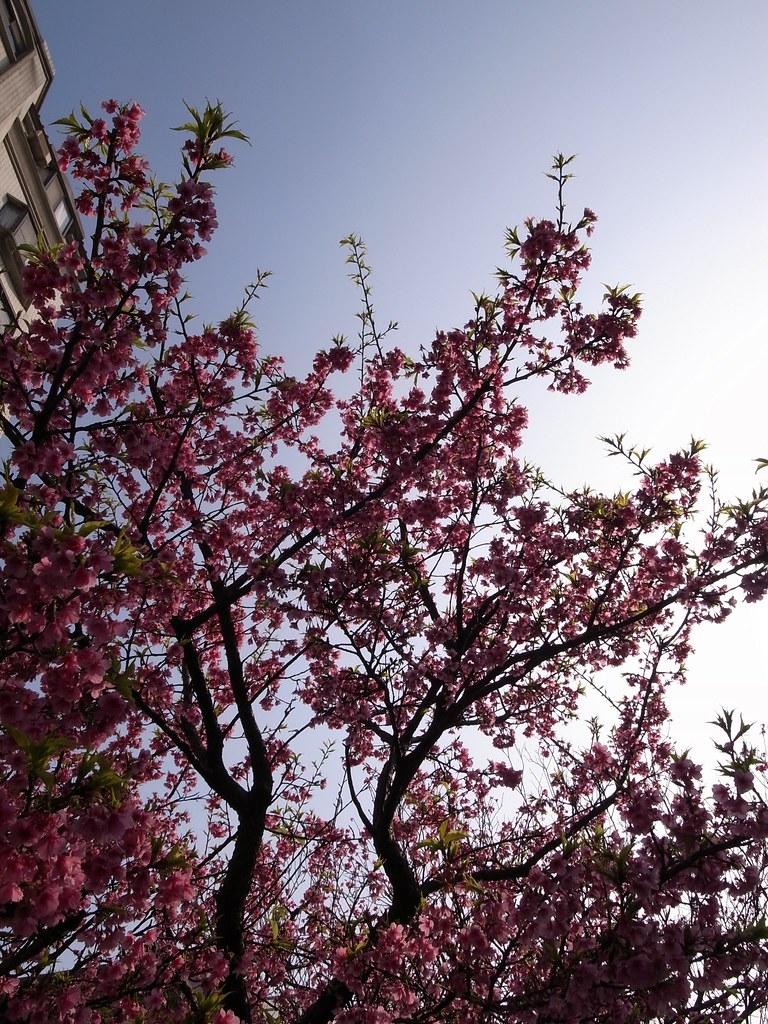 門外櫻花 - 1