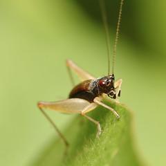Cricket (anjur) Tags: macro nature canon insect cricket 500d coth explored bej specinsect macrosdenaturaleza alittlebeauty thebestofcengizsqueezeme2groups thenaturesgreenpeace