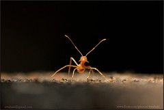 spider ant... (swaheel) Tags: india macro nature digital canon insect eos rebel kiss zoom bokeh ant bangalore guard kerala efs challenge xsi threaten sentry outpost x2 kottakkal karanataka bengaluru 450d malappuram 55250 swaheel 55250is