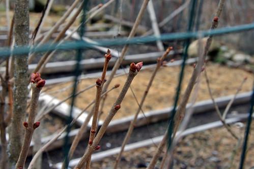 leaf buds 008