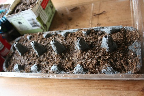 Sage seeds, just planted