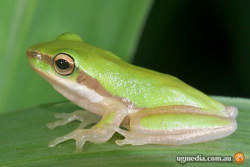 Northern dwarf tree frog (Litoria bicolor)