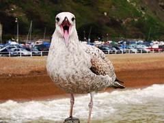 (Shan B.) Tags: bird beach coast seagull gull beak ornithology potd:country=gb