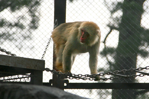 Japanese Macaque - 03