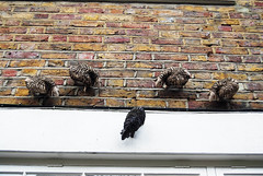 Where would ewe find these? In Kynance Mews, Kensington, SW7. (maggie jones.) Tags: white black brick london sheep ornamental guesswherelondon gwl