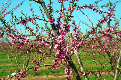 peach trees and purse 014
