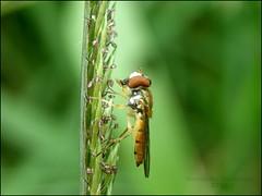 Hoverfly (José Bernardo) Tags: macro insect ecuador santaana mosca hoverfly insecto manabi diptero