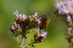 Bee1_20080715