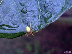 arraigne !! (jackline22) Tags: macro nature jardin pluie vert couleur goutte insecte feuille gouttes arraigne