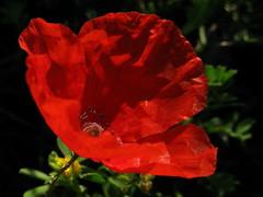 amapola roja (jacilluch) Tags: poppy rosella coquelicot papaver poppys amapola cornpoppy papoula gineceo ababol mitxoleta papaverorosso papuela rossopapavero